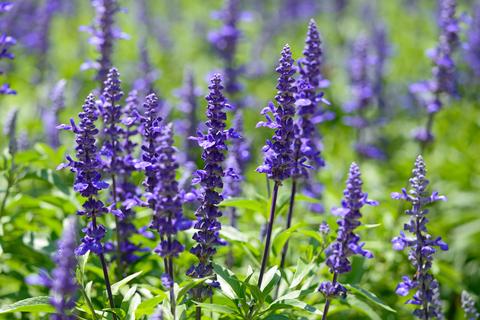 CalPhotos: Lavandula stoechas; Spanish Lavender